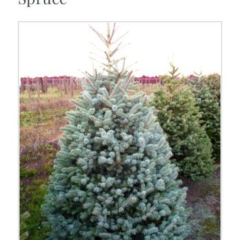 Photo of Palmer's Christmas Tree Farm - Salem, OR, United States. Trees - Palmer's Christmas Tree Farm - CLOSED - 13 Photos - Christmas Trees