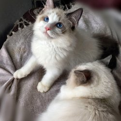 Vanillabelle Ragdoll Cats & Kittens - 2019 All You Need to Know