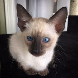 Siamese cat breeders new york state