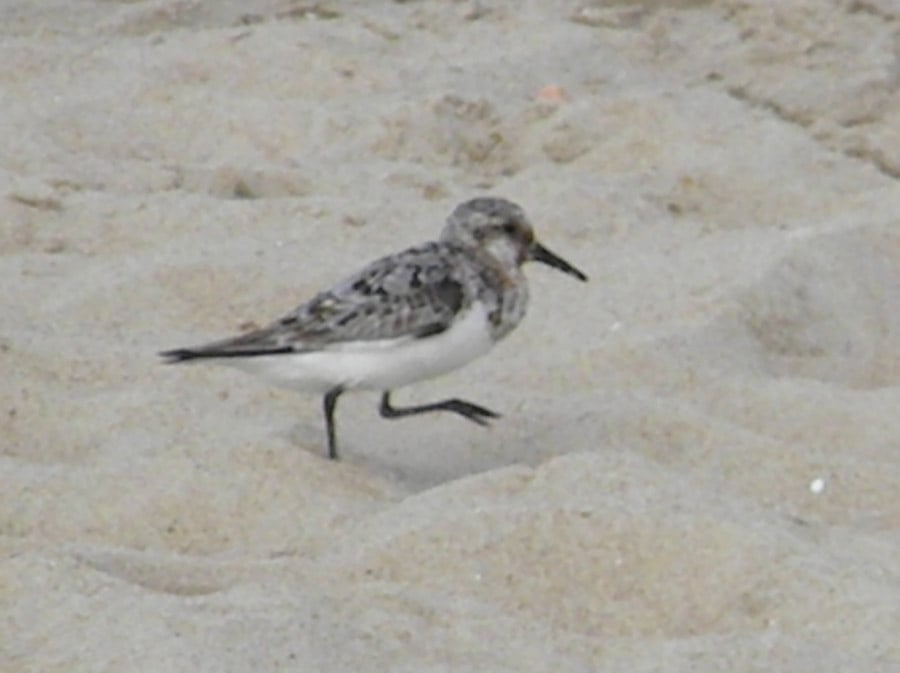 Sanderlings Scoot Over The Sand At Herring Point Like Mad
