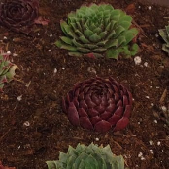 Superior Photo Of Youngu0027s Garden Center   Roseburg, OR, United States. Planted  Sempervivum From