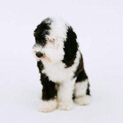 Mini Doodles 4 Love - Pet Breeders - 3589 N 2500th E, Twin Falls, ID