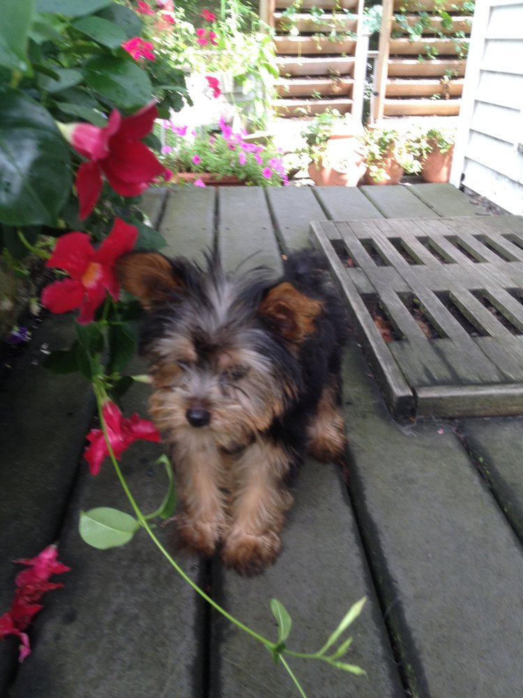 We Have A New Yorkie Julian What A Joy He Is A Healthy Busy