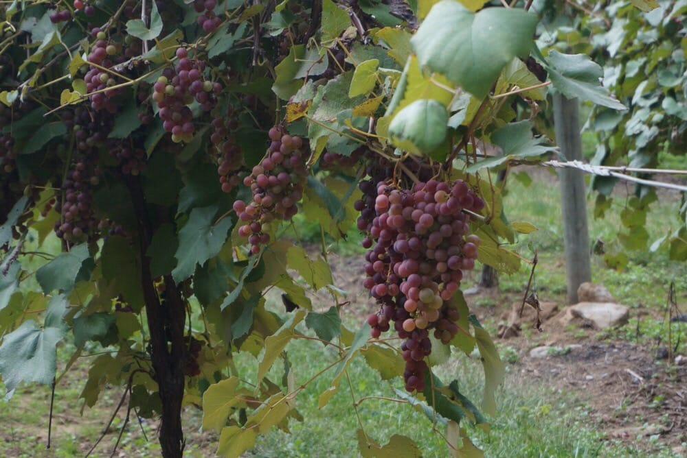 Nissley Vineyards & Winery: 140 Vintage Dr, Bainbridge, PA