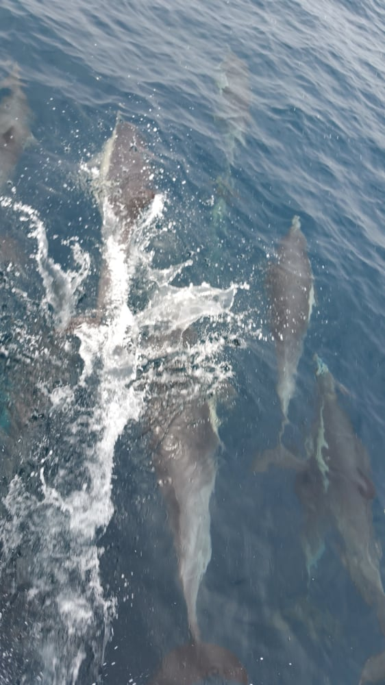 Several pods of dolphin came up to say hi yelp for Marina del rey fishing report