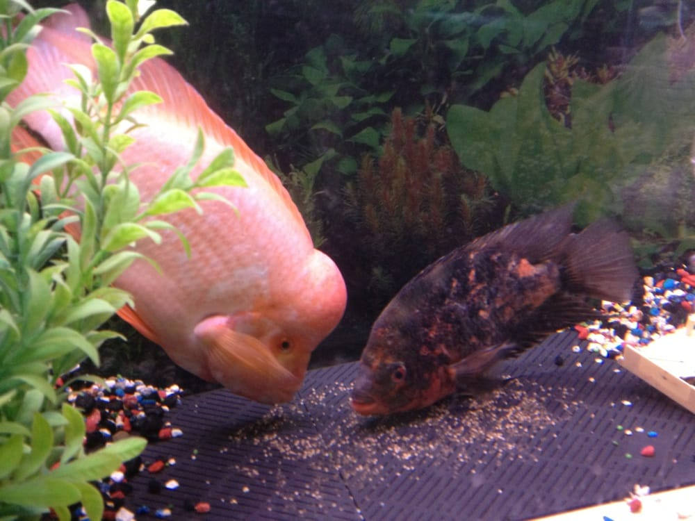 red devil and fader flowerhorn pair with their best yelp