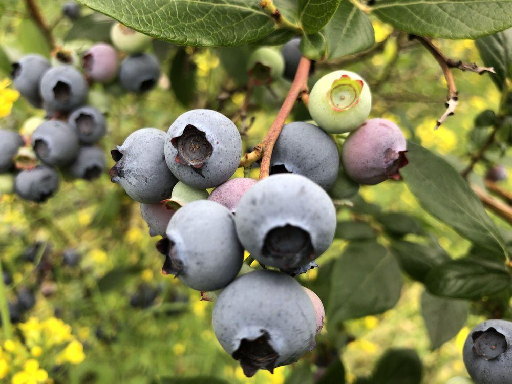 Henna Blueberry Farm: 1800 Fall City Carnation Rd SE, Fall City, WA