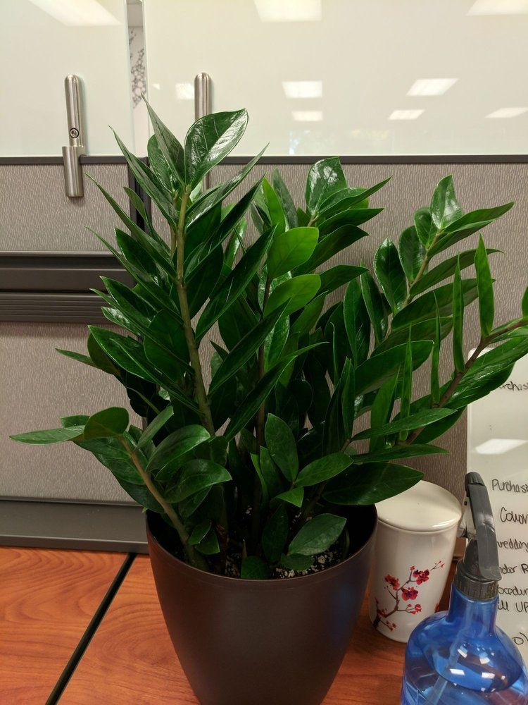 Bought This Zz Plant From The Store Pot Not Included