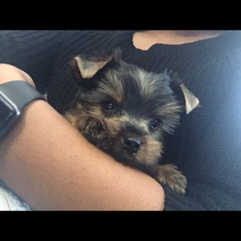 Yorkies of Houston - 309 Photos & 24 Reviews - Pet Stores