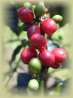 Makapueo Farms - Coffee & Tea - 83-5530 Middle Keei Rd