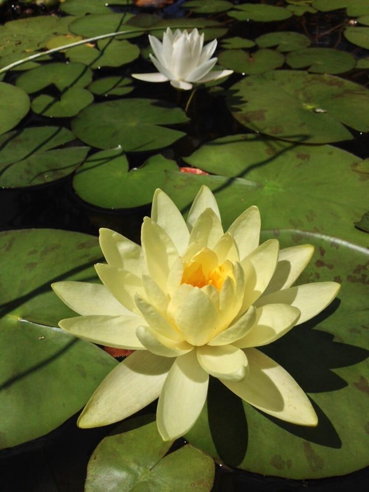 Lotus on the koi pond yelp for Koi fish pond lotus