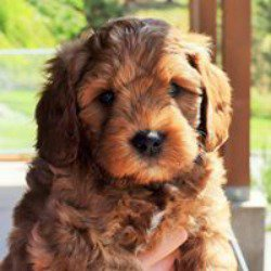 Montana Sky Labradoodles Request A Quote Pet Breeders Rollins