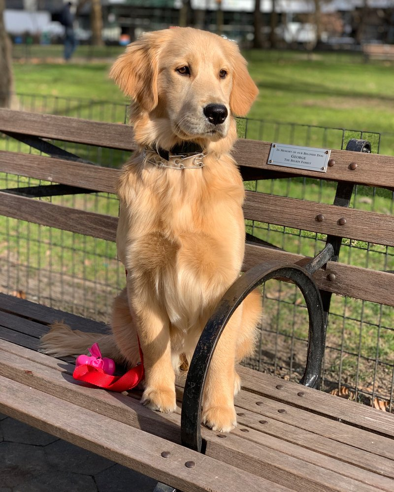 6 Month Old Golden Retriever Post 2 Week Board And Train With Marlon