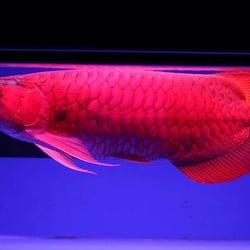 The red arrowana fish farm fish chips 6405hillview for Georgia fish farms