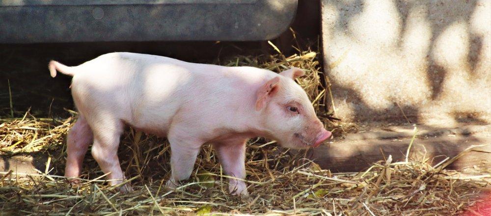 Suffolk County Farm