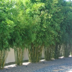 photo of island bamboo garden pinellas park fl united states gorgeous bamboo - Bamboo Garden