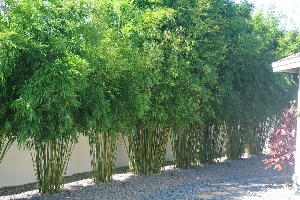 Gorgeous Bamboo screen of B. textilis gracilis bamboo (slender ...