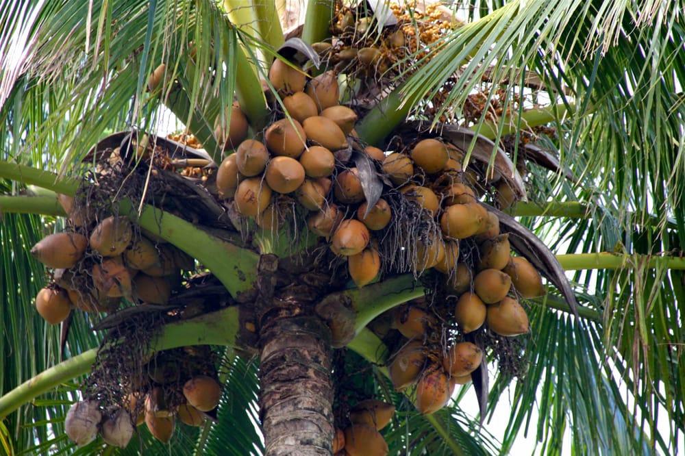 Coconut Information: 11 Kane Rd, Haiku, HI