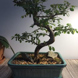 Photo Of Bonsai Gardens Of Connecticut   Manchester, CT, United States. My  Bonsai