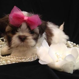 Crowned Imperial Shih Tzu Get Quote 10 Photos Pet Stores