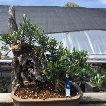 Photo Of New England Bonsai Gardens   Bellingham, MA, United States. Wild  Olive