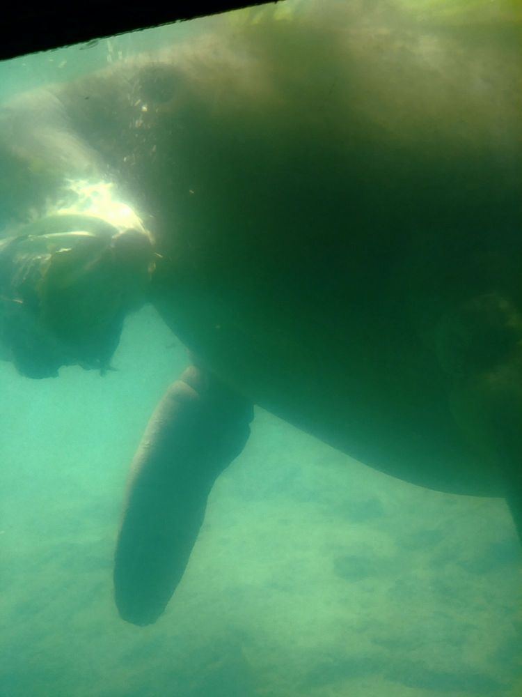 view of a manatee eating lettuce from the underwater viewing area yelp