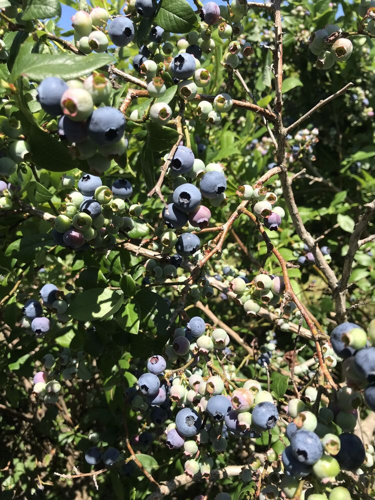 Stateline Blueberries: 9957 N Frontage Rd, Michigan City, IN