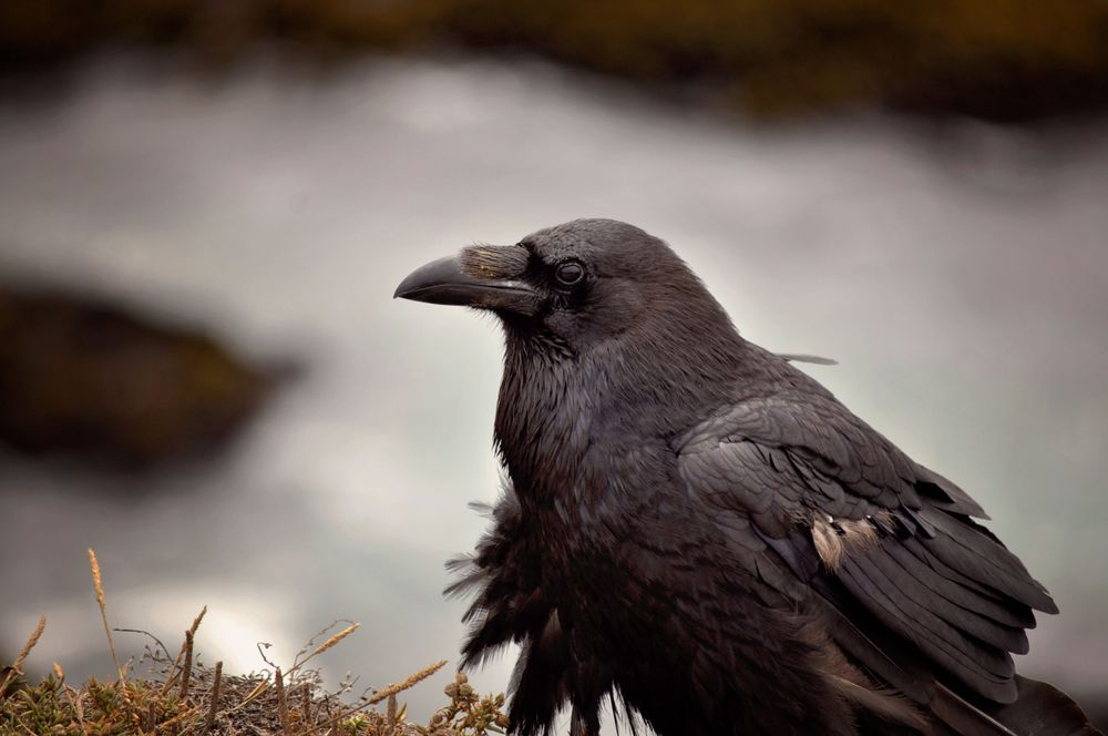 Image result for beautiful raven bird images