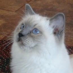 New Dawn Ragdolls - Pet Breeders - Aumsville, OR - Phone Number - Yelp