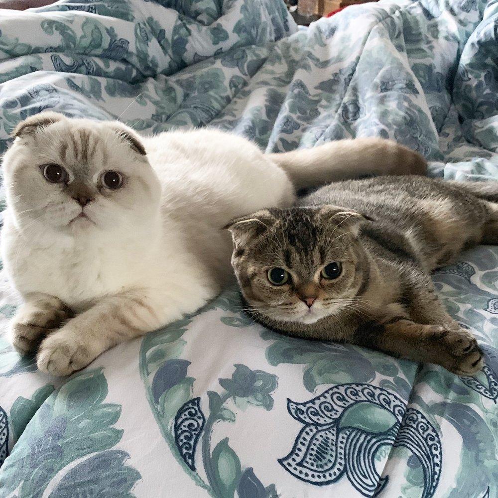Lulu's Scottish Fold Kittens Breeder: San Jose, CA
