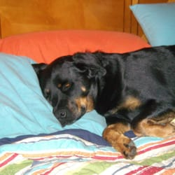 San Diego Rotweiller Rescue Pets Alpine Ca Last Updated