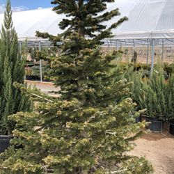 Photo Of Heidrich S Colorado Tree Farm Nursery Springs Co United States