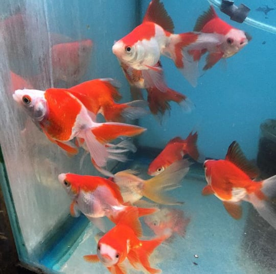 fancy goldfish yelp