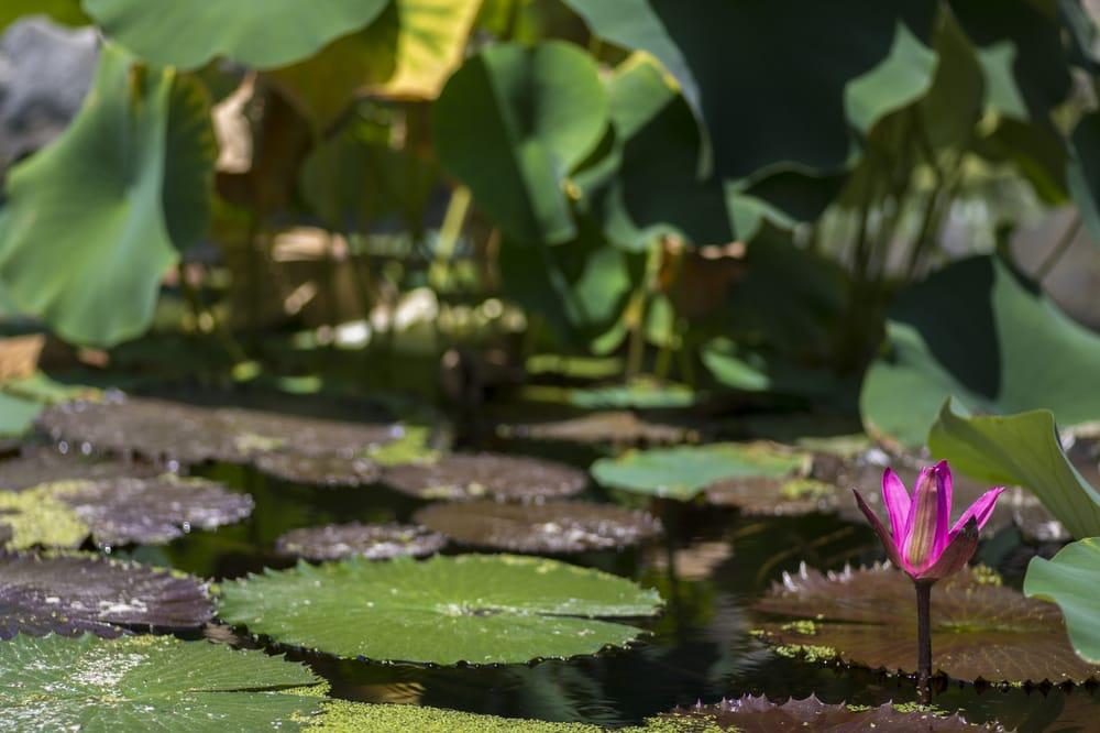 The Japanese Garden 1421 Photos 230 Reviews Botanical Gardens 6100 Woodley Ave