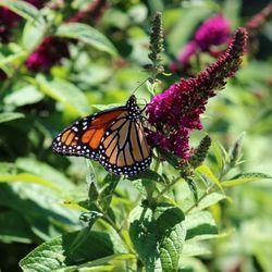 Photo Of TLC Garden Centers   Oklahoma City, OK, United States. Monarch  Found