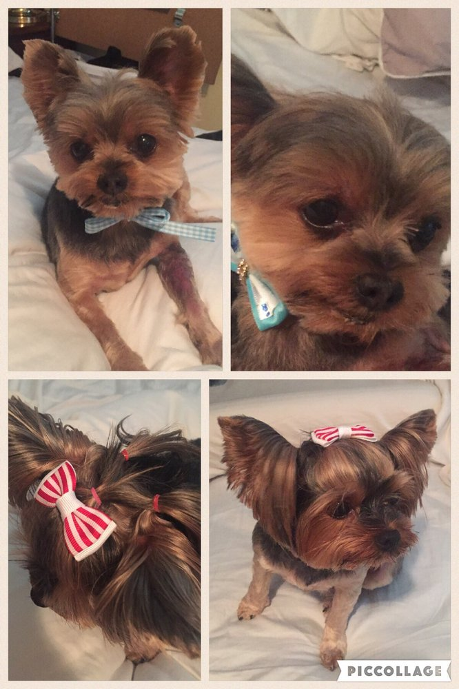 Yorkie Puppy Cuts Chuy Male And Honey Female Kept The Top Knot