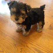 Yorkie Pups Of Texas Pet Breeders 10505 Dessau Rd Austin Tx