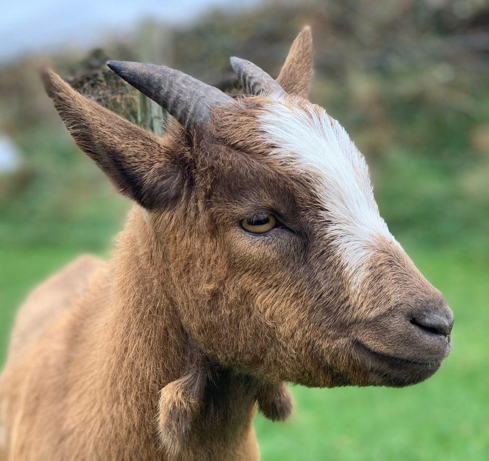 Photo of Fairy Fort & Pet Sheep: Dublin, KY