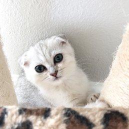 Scottish Fold Kittens - 27 Photos - Pet Breeders - 17000 N