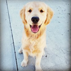 Dream Golden Retrievers - 2019 All You Need to Know BEFORE