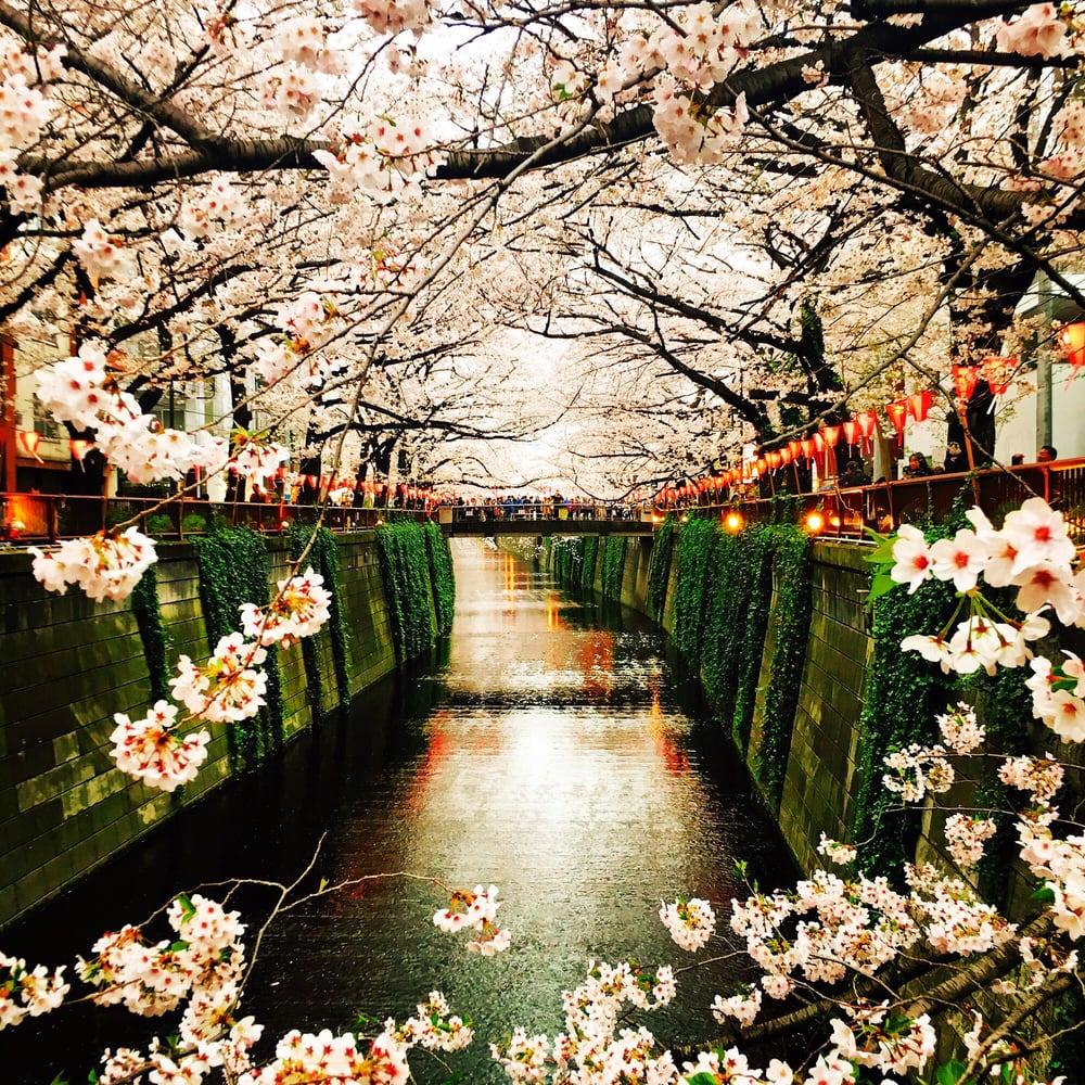 Nakameguro Sakura Matsuri