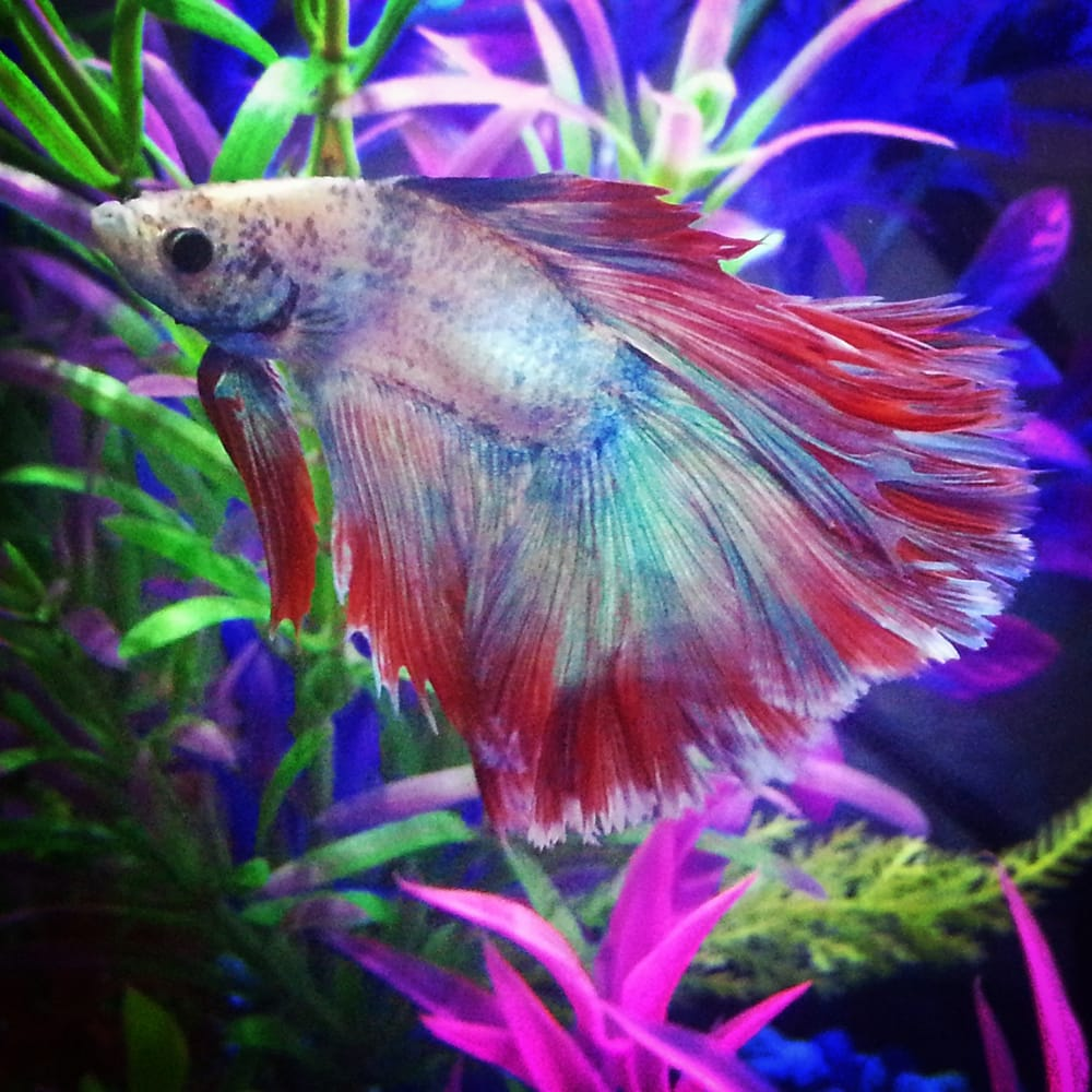 Kaleo rose pedal betta fish yelp for Best place to buy betta fish