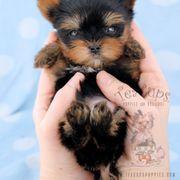 Teacups Puppies Boutique 52 Photos 53 Reviews Pet Stores