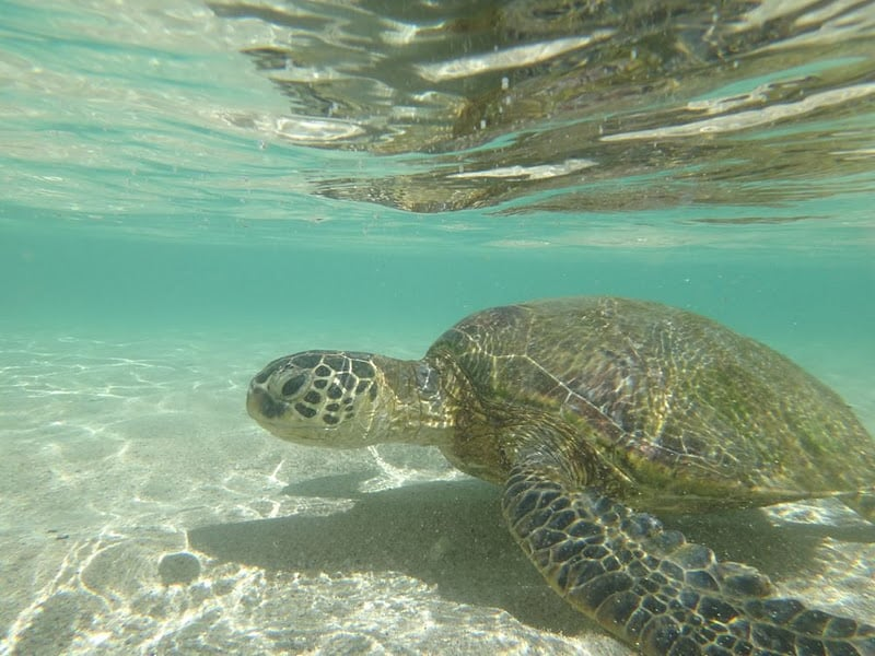 Photo Of Ko Olina Villa Als Kapolei Hi United States Sea Turtles