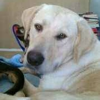 Labrador retriever rescue austin