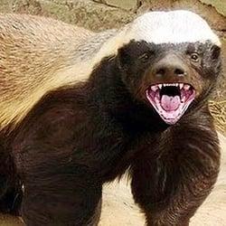 Image result for honey badger