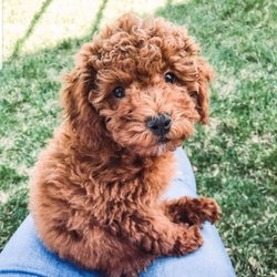 Idaho Jewels Poodles - 2019 All You Need to Know BEFORE You