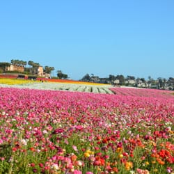Attrayant Photo Of The Flower Fields   Carlsbad, CA, United States