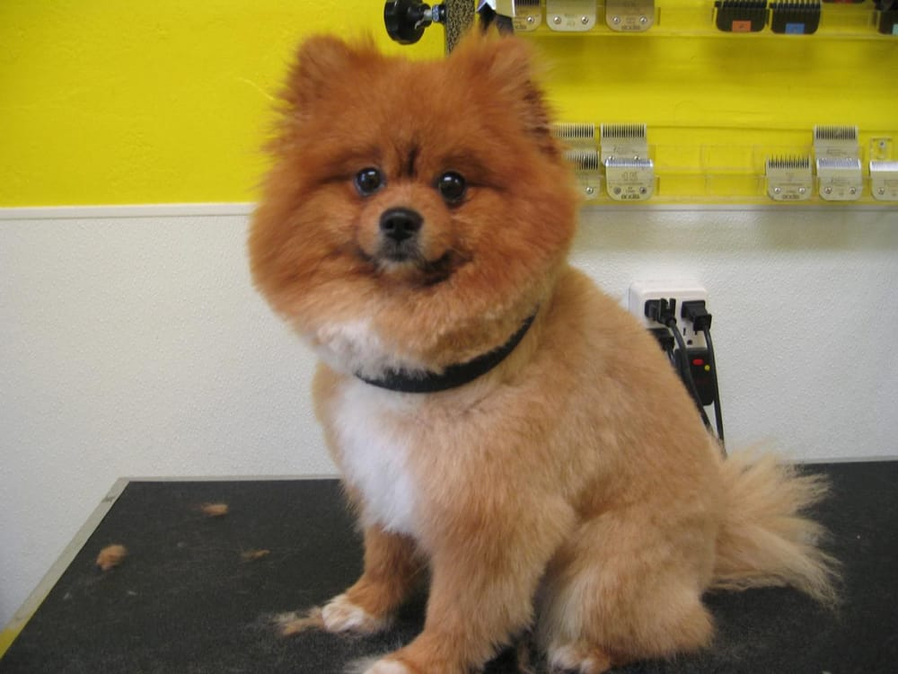 lion pomeranian koochi the adorable pomeranian in for a modified lion 3871