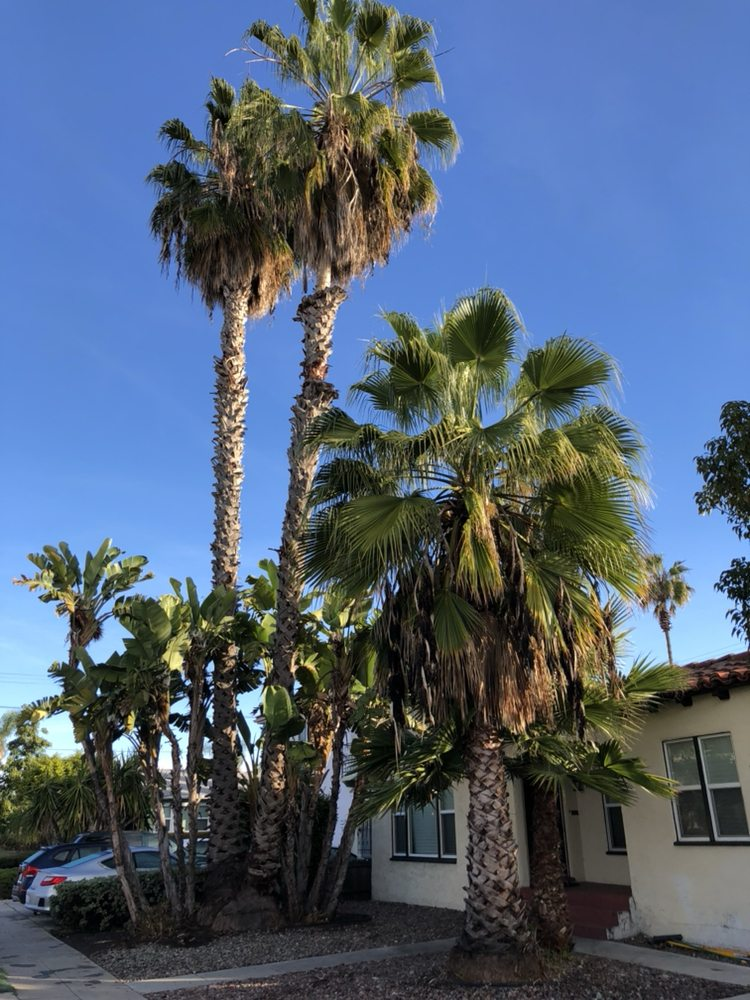 We Trimmed These Mexican Fan Palms And Removed The Giant Bird Of